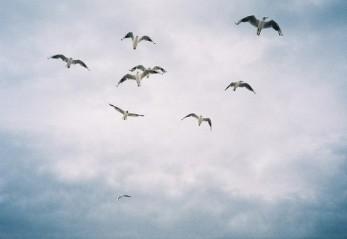 От края до края птицы с небес слетают